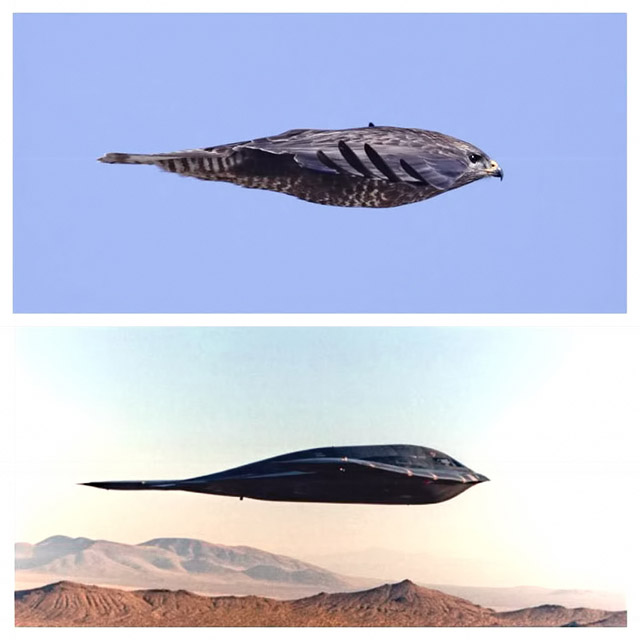 Peregrine Falcon and a B-2 Bomber
